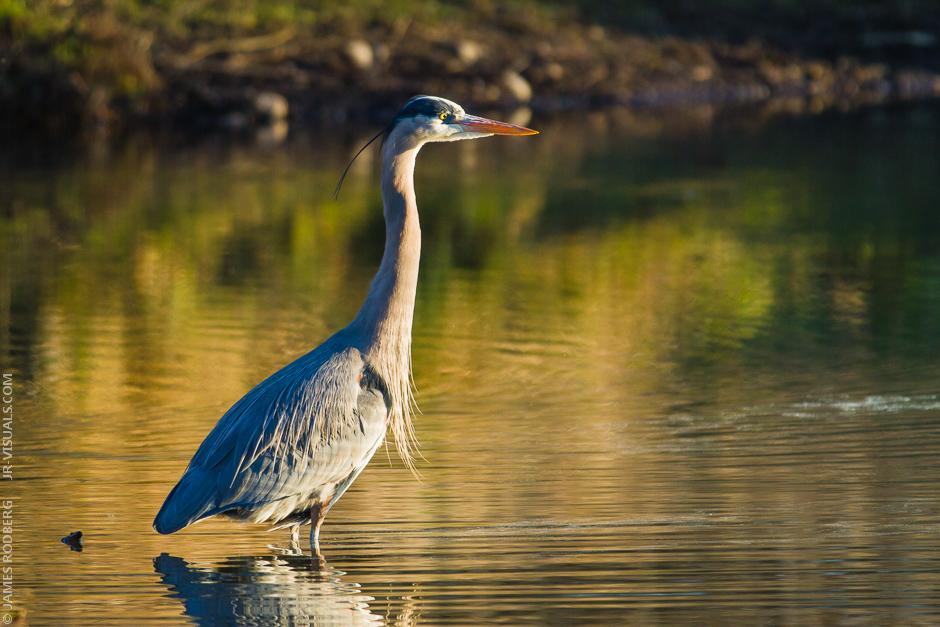Blue-Heron_3995.jpg
