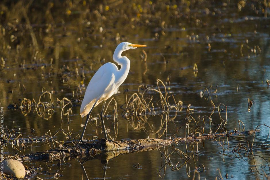 White-Heron_4002.jpg