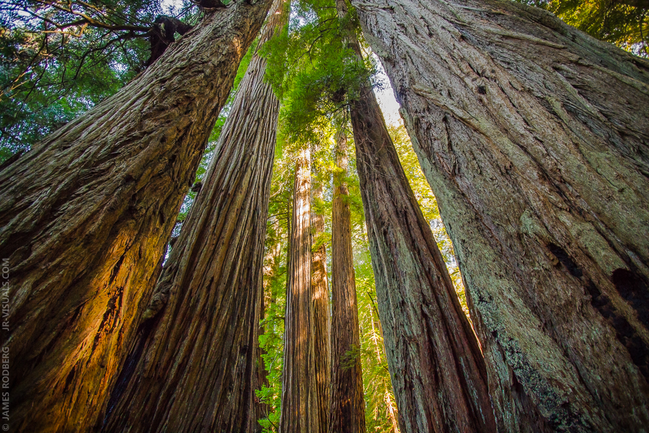 california-giant-redwoods_1890