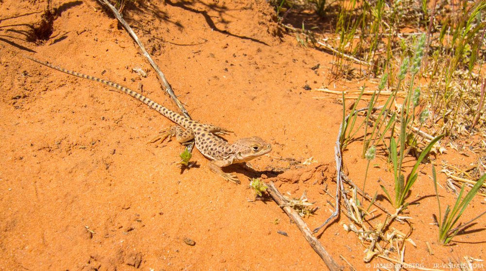 Western Whiptail Lizard #5719-2
