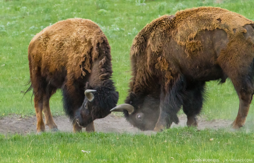 Yellowstone Bison Fight #6096