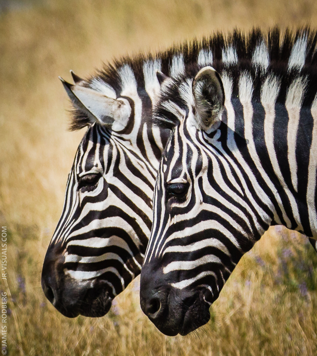 zebra-heads-close-up_9206