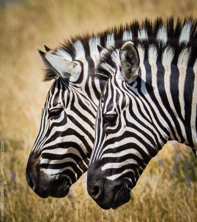 zebra-heads-close-up_9206