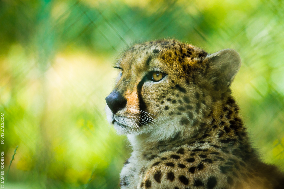 cheetah-gaze_9335