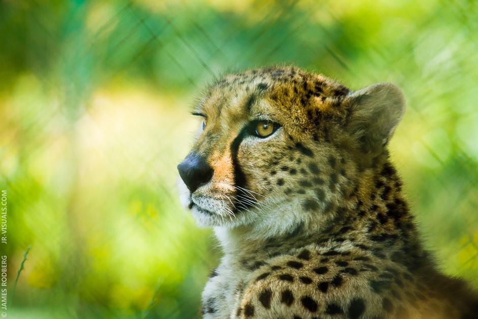 cheetah-gaze_9335