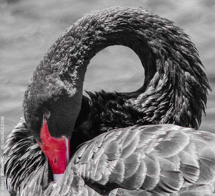 black-swan-bird_9412