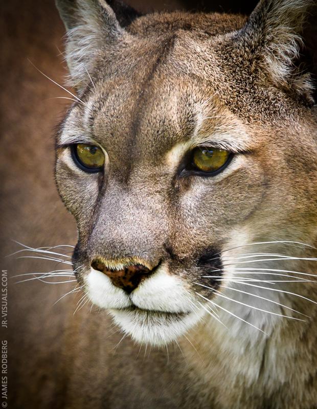 cougar-cat-gaze_9407