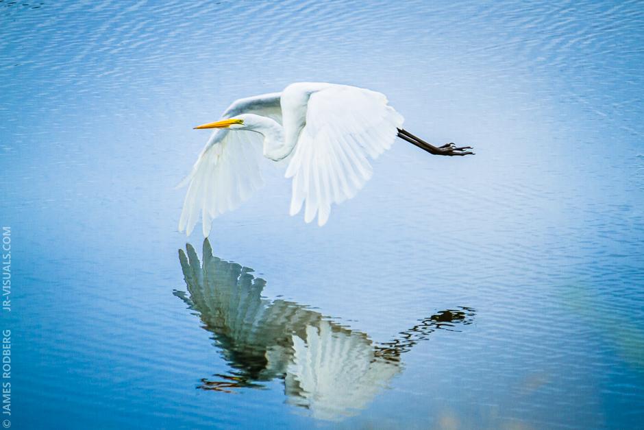 white-heron-pond-flight_2837-e