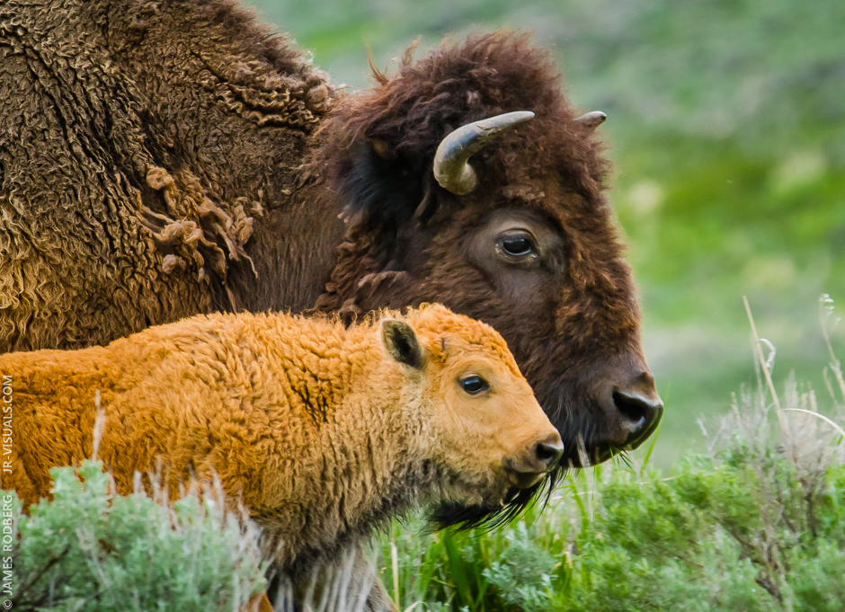 yellowstone-bison-adult-calf-heads_6162
