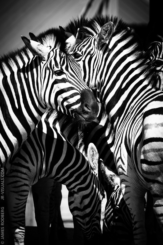 zebra-group-feeding_9200