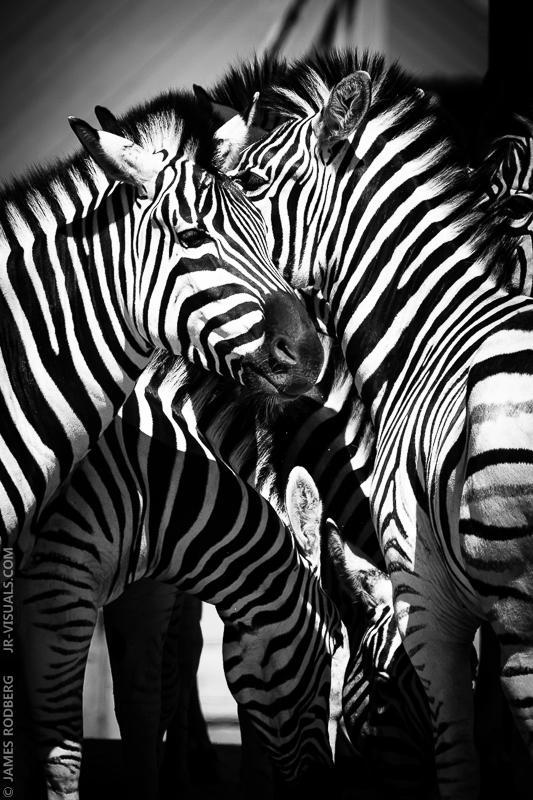 zebra-group-feeding_9200