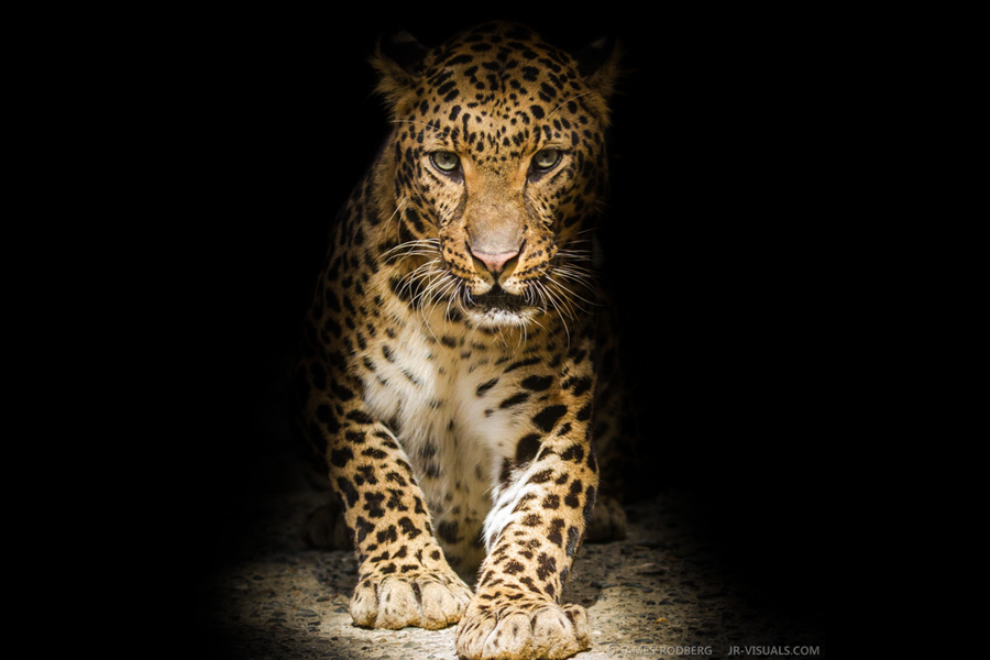 leopard-shadows-eyes-stare-down_4766-james-rodberg-photography.jpg