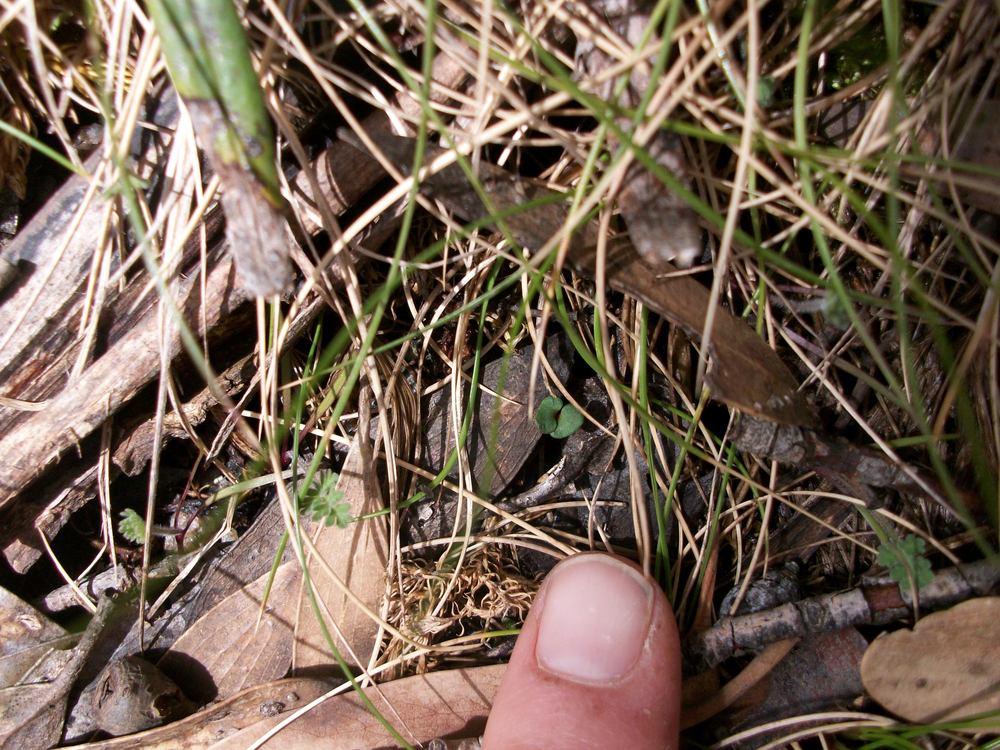 Snowgum seedling at treeline (cotyledons).jpg
