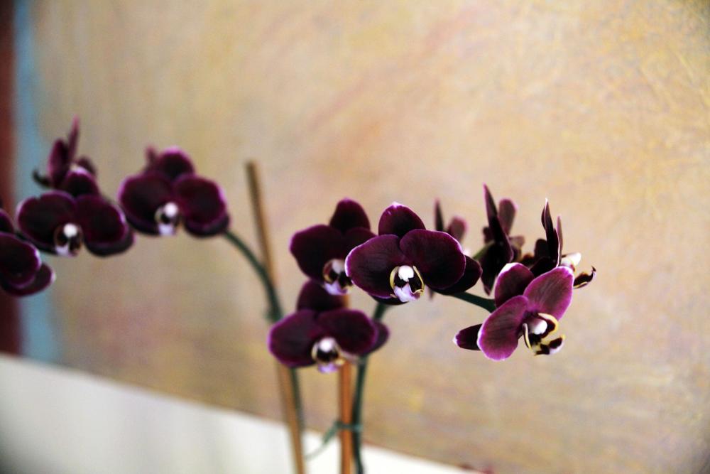Orchid, Auberge du Soleil, Napa