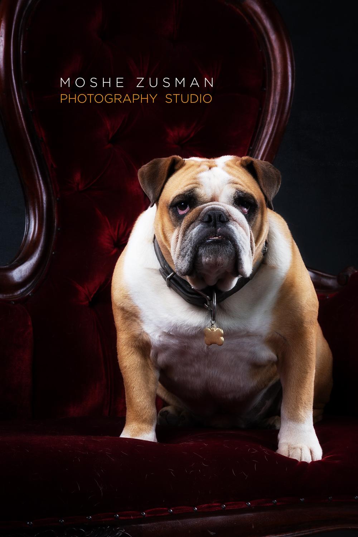 lauren-and-jeff-jordan-bulldog-holiday-card-studio-photo-shoot-moshe-zusman-4.jpg