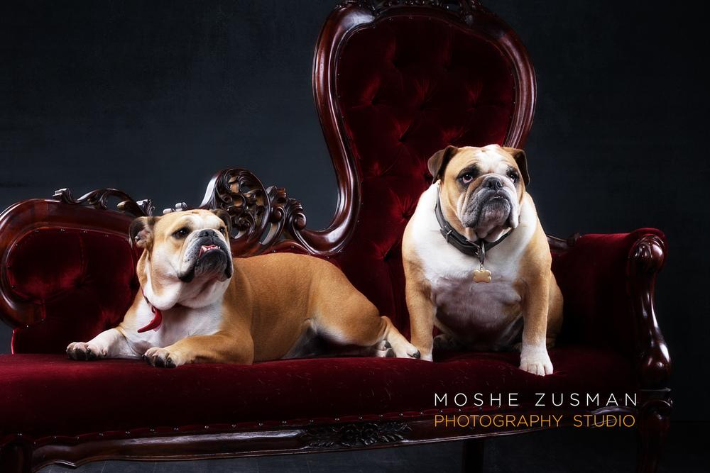 lauren-and-jeff-jordan-bulldog-holiday-card-studio-photo-shoot-moshe-zusman-3.jpg
