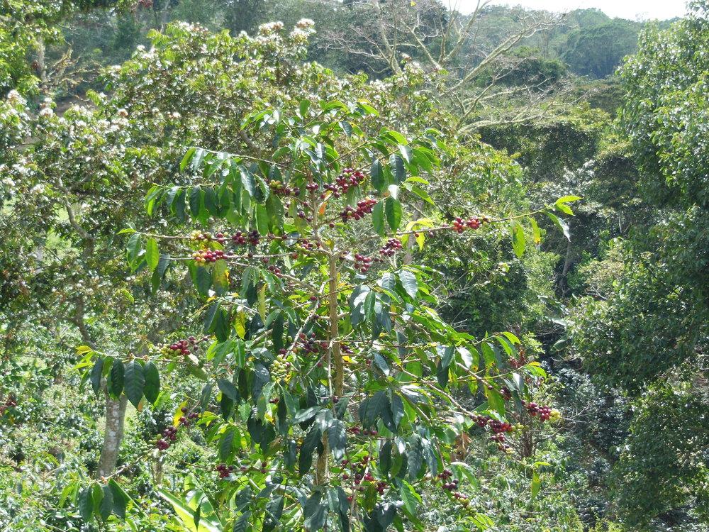 Coffee Plant_ Flor de Sapote.JPG