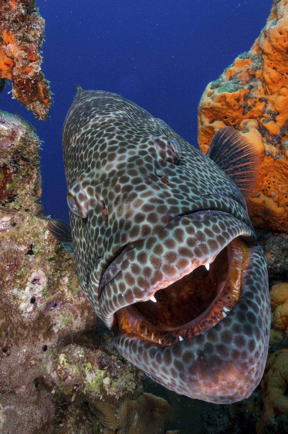 Face to Face with a Tiger Grouper