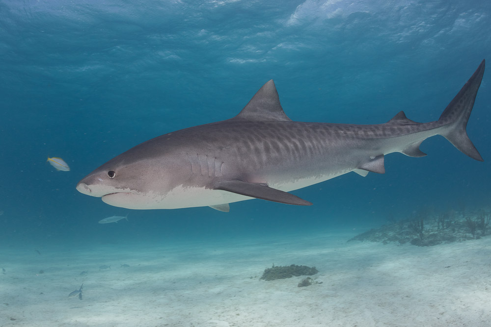 Sharks of the Bahamas