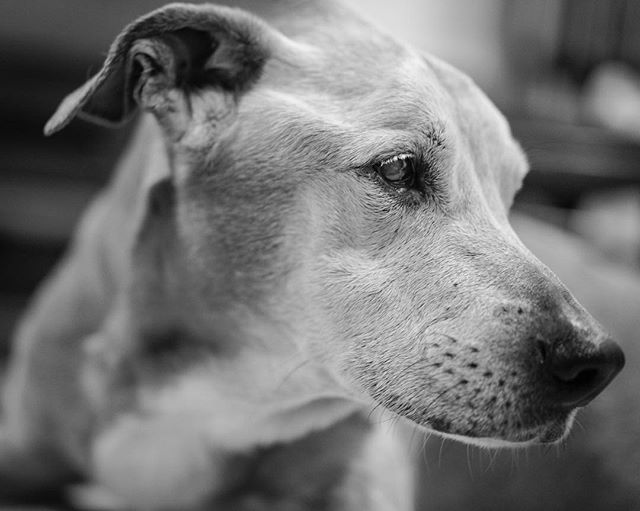 Unfortunately my first post to Instagram in ages brings sad news. Our beloved canine friend Bosco passed on to a better place today. He was our companion for more than a decade, and one of the most loyal beings I've ever known. Saying goodbye was without a doubt one of the hardest decisions we've ever had to make, but it was his time. We will always love you Bosco, thank you for your unconditional love and all of the wonderful memories you provided. #dog #gratitude #sadness #bestfriend