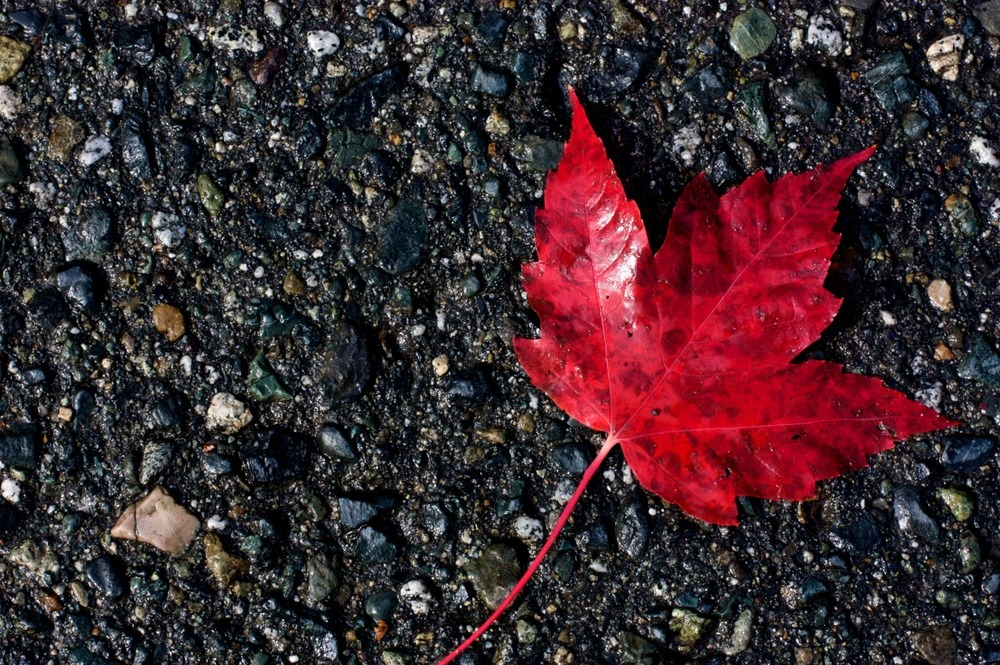2009-10-10 at 12-09-041 leaf maple red canada symbol bruised pavement.jpg