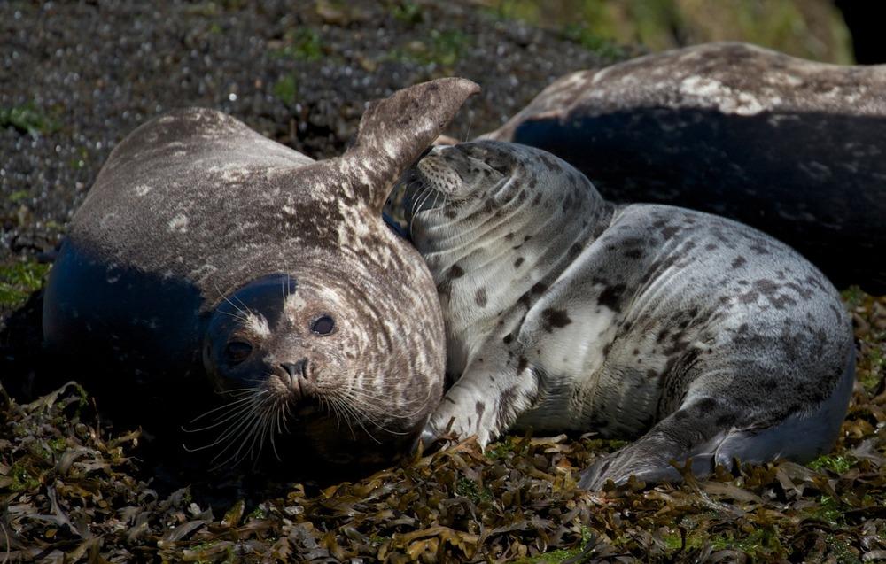 2012-08-16 at 10-08-47 departure bay, feeding, flipper, harbour, mother, nursing, ocean, pup, seal.jpg