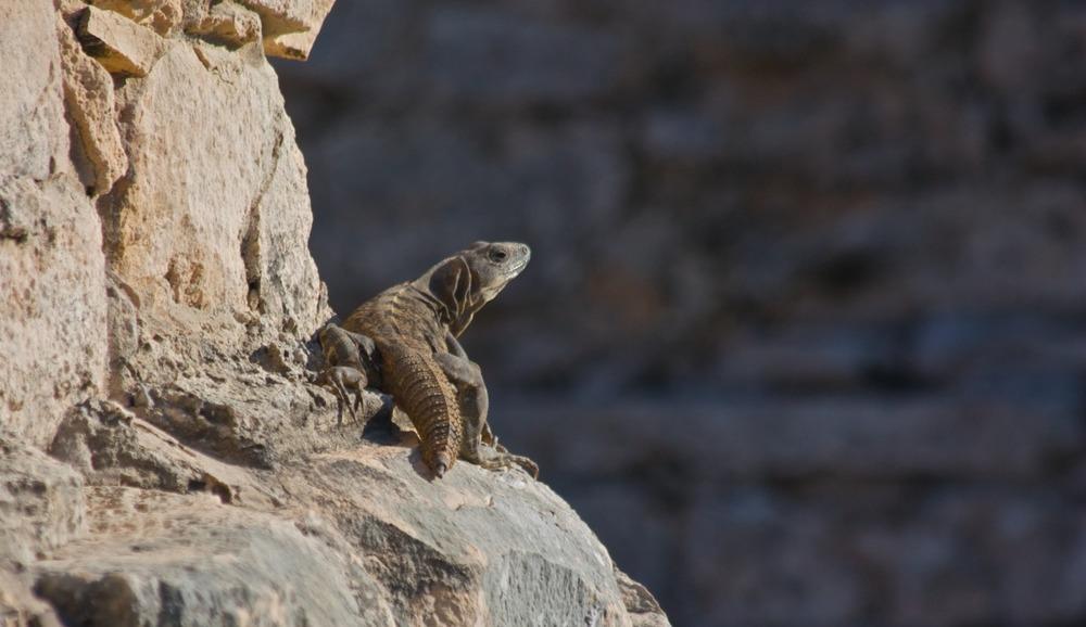2011-03-16 at 15-14-31 animal, iguana, lizard, mexico, rocks, sun, tulum.jpg