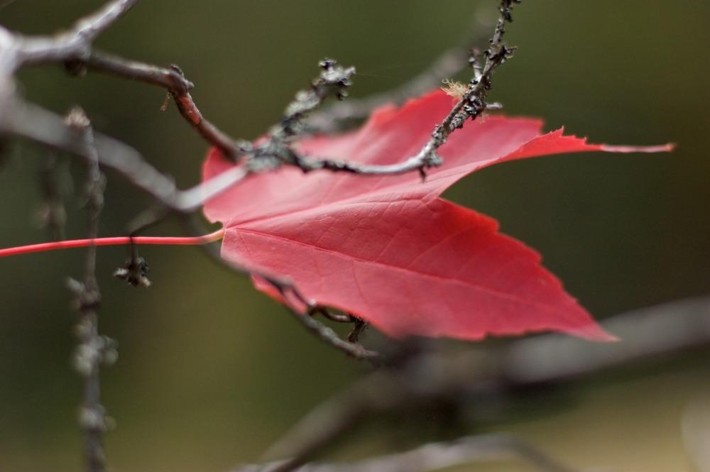 2009-10-10 at 11-23-54 leaf maple red canada symbol.jpg