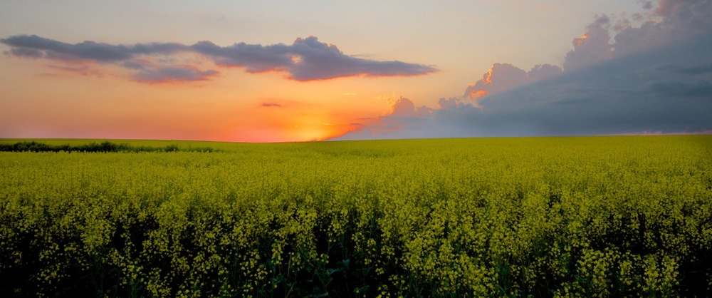 2012-07-07 at 18-35-59 canola sunset prairies yellow flowers field.jpg
