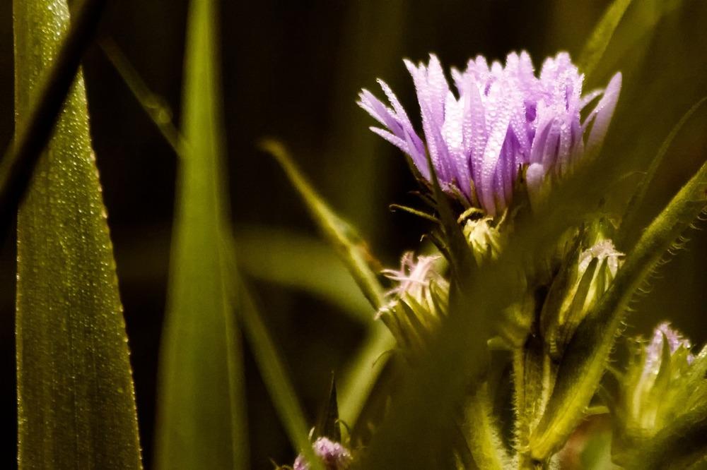 2009-08-01 at 18-58-34 1 depth dew dramatic flower grass green purple.jpg