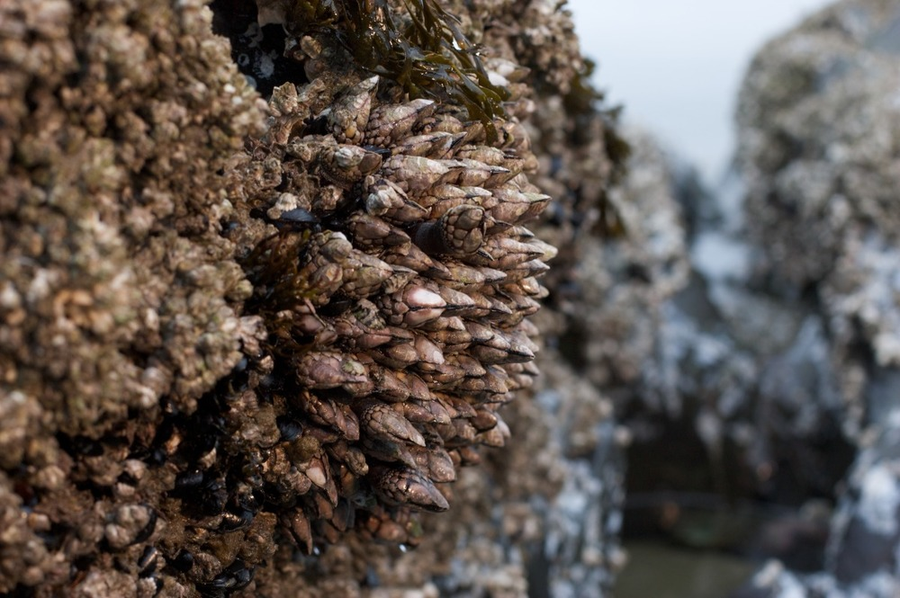 2010-02-06 at 14-10-01 barnacle gooseneck long beach nature rocks seascape tofino.jpg