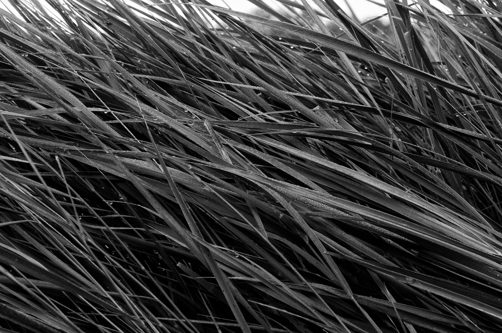 Grasses at dawn glistening with dew.  Canon EOS XSi EF 70-300mm at 70mm f/13 1/45 ISO 400 −1ev
