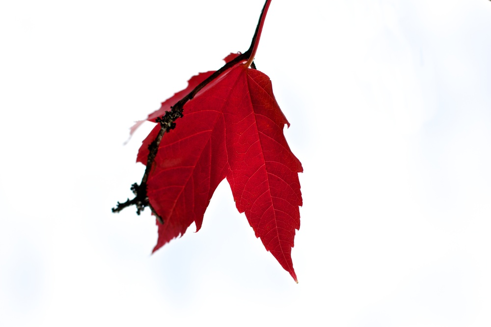A translucent blood red leaf hangs in the white sky.  Canon EOS XSi EF 50mm 1.4 at f/3.5 1/1000 ISO 200