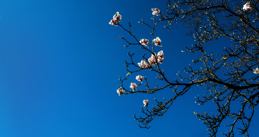 Magnolias catch the light in a bright blue sky.  Fuji XE-2 XF 14mm 2.8 at f/6.4 1/400 ISO 400
