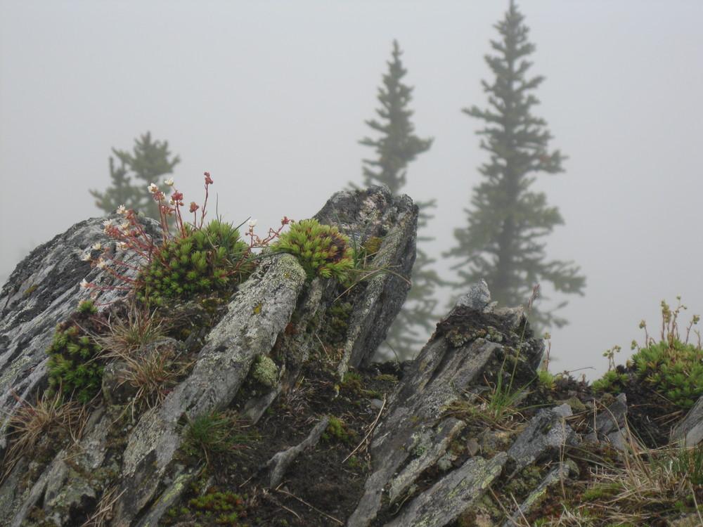 Alpine Flowers at the peak of Mt Fidelity