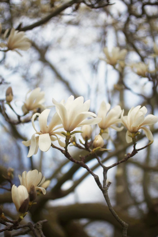 magnolia 012.jpg