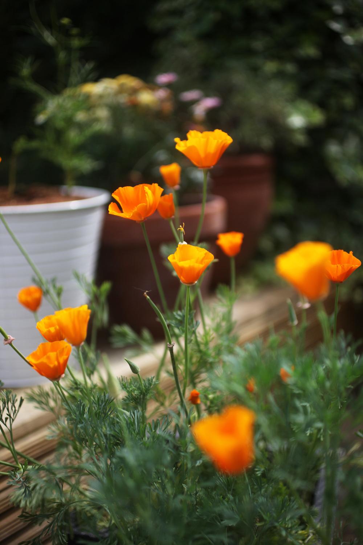 poppies 003.jpg