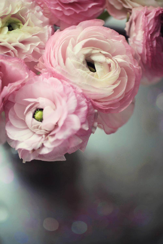 pink ranunculus  008.jpg