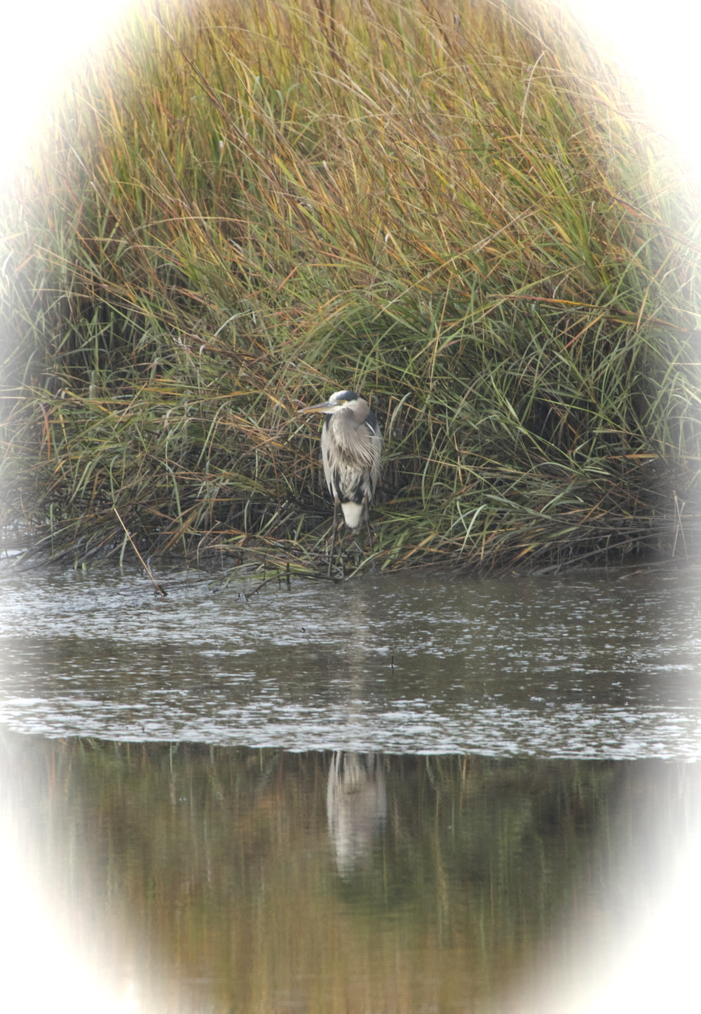 Old Man River the venerable Great Blue Heron