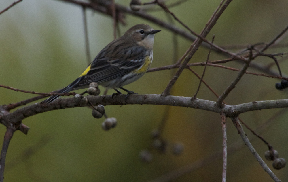 "Yellow Backed ""Myrtle Warbler"