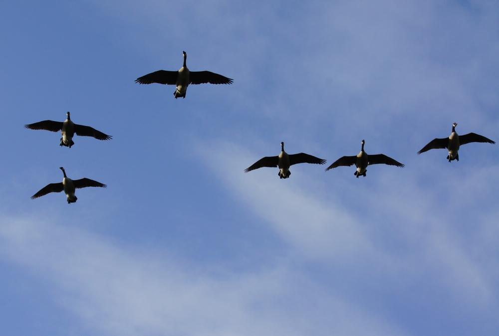 Canada Geese inbound.