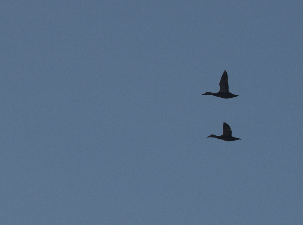 A pair of formation flying Mallards silhouette the sky