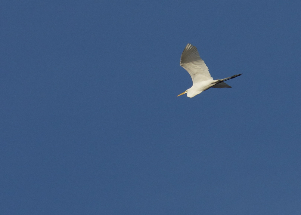 Great Egret overhead catching the sun.