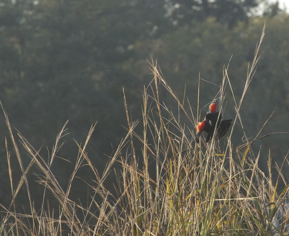 Red-winged blackbird flashing. Natures Stoplight.