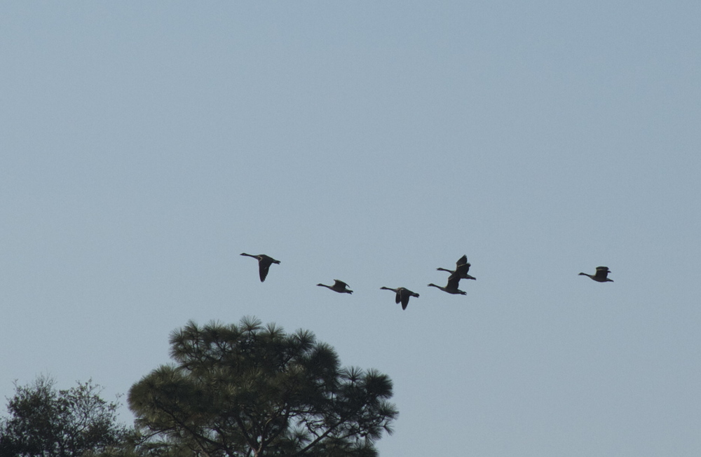 Canada Geese, winter friends fly by