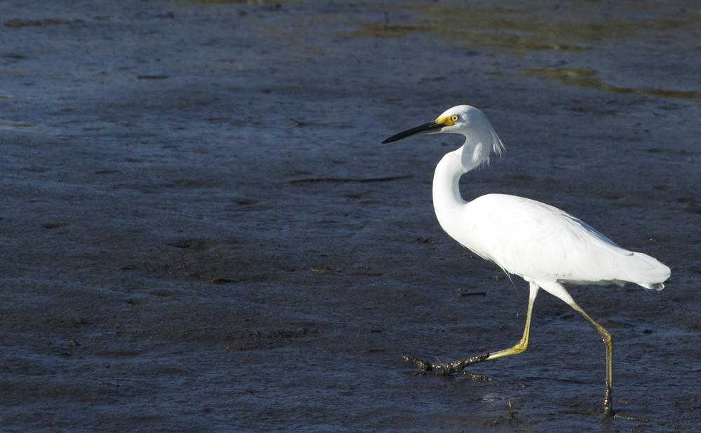 A jaunty snowy egret says hi!