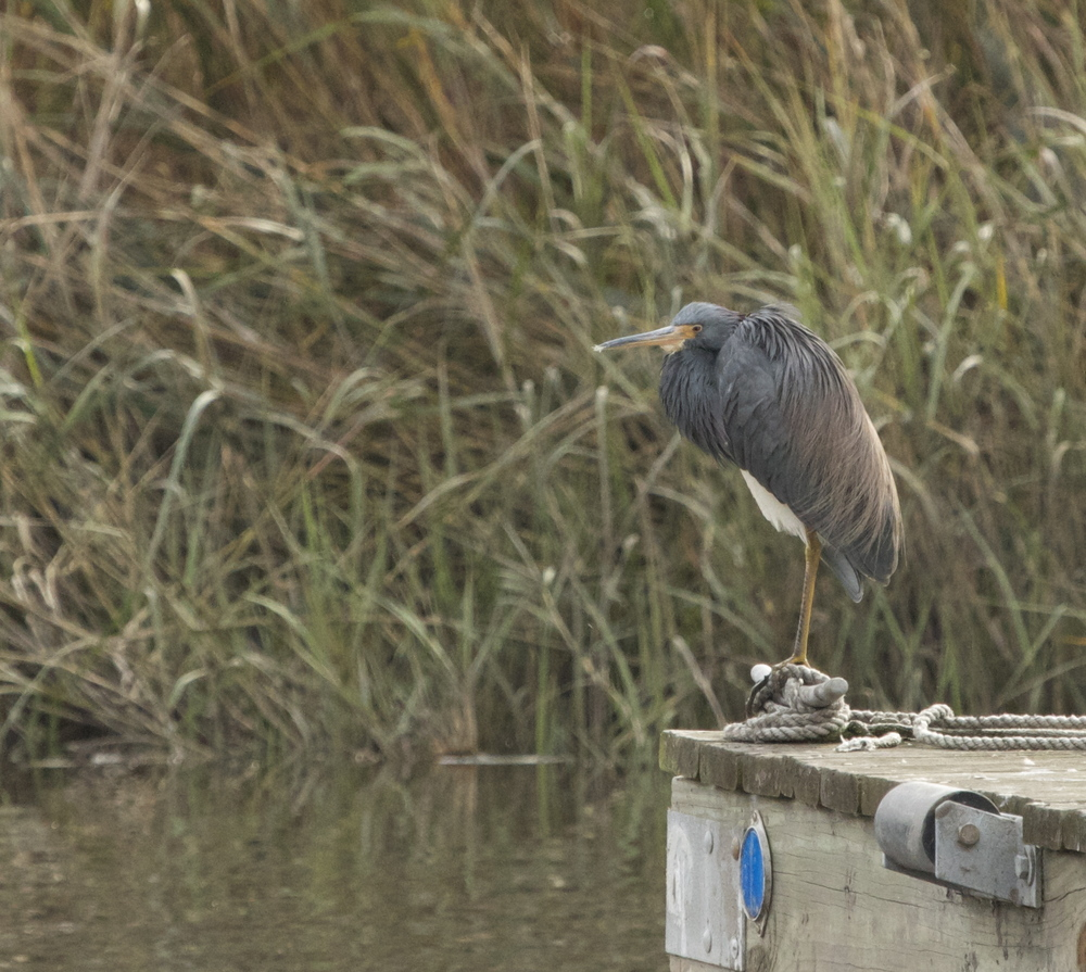 Tricolored Heron  sittin on the dock of the bay .