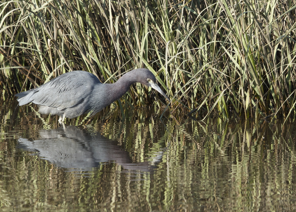 Little Blue Heron  wishin and hopin  for fish!