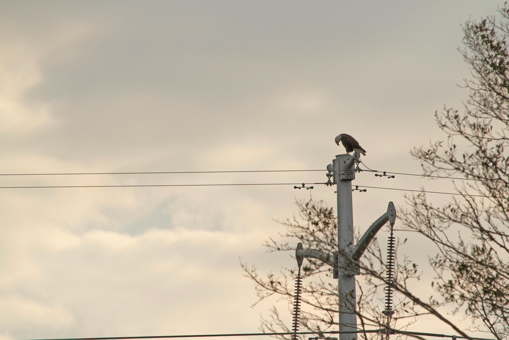 The Eagle lands on a high voltage power line. He lowers his head as if tired, the weight of the world on its wings.
