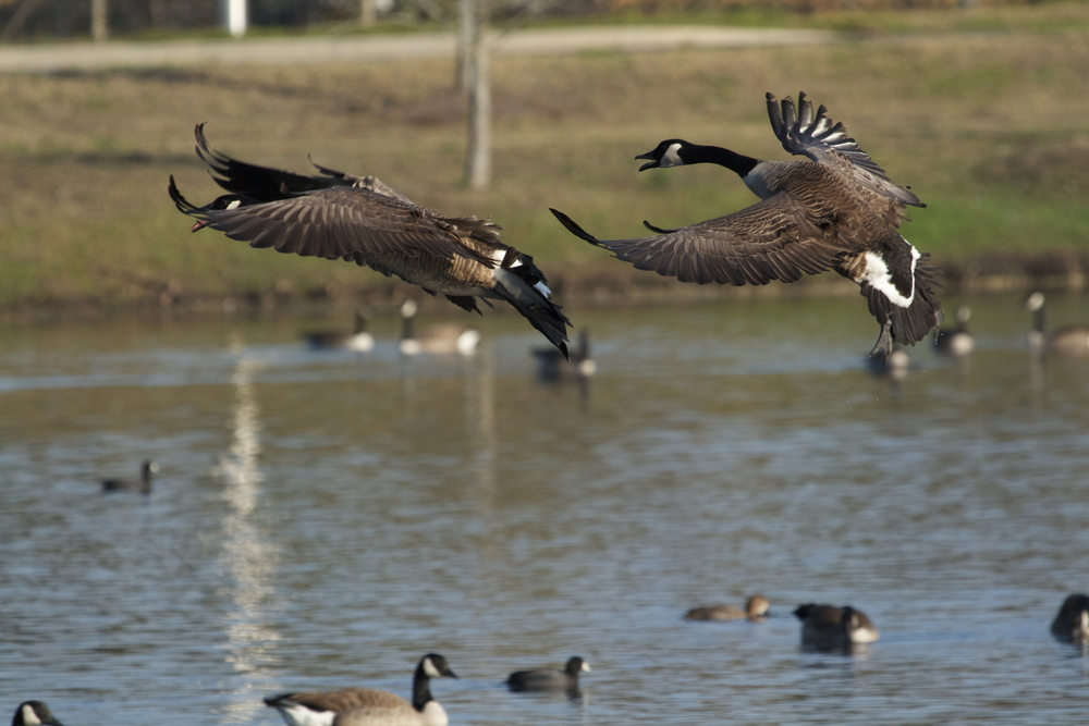 Both geese hit the  airbrakes !